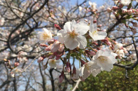 3月27日 本日の桜状況