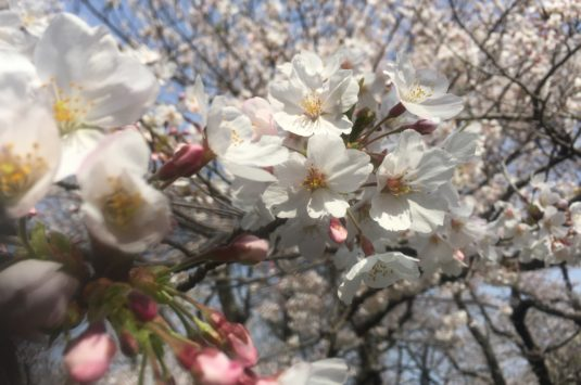 3月29日 本日の桜状況