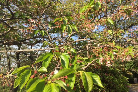 桜も散り葉桜になりました。