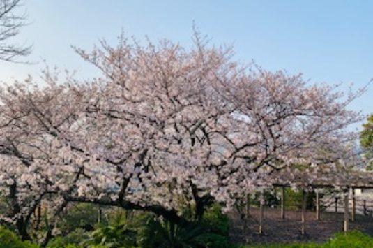 桜の蕾状況