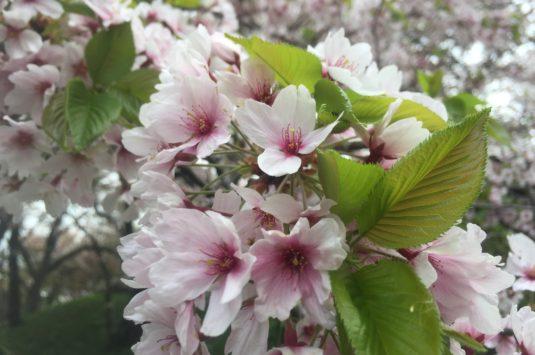 4月4日 本日の桜状況