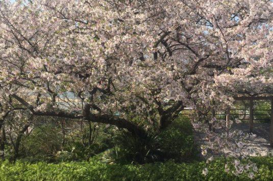 4月3日 本日の桜状況